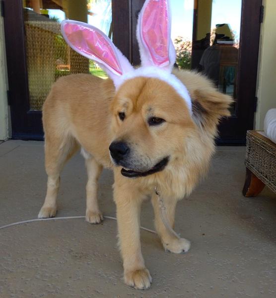 mr-chow-easter-bunny-ears
