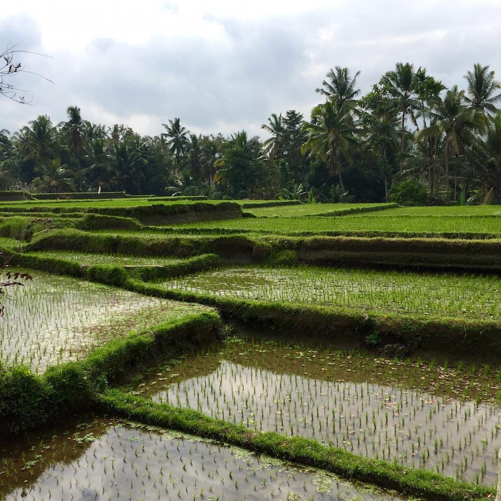 rice-fields-sar-organik