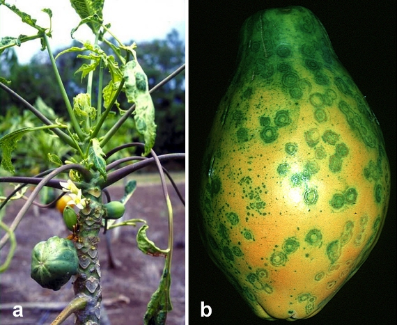 ringspot virus papaya