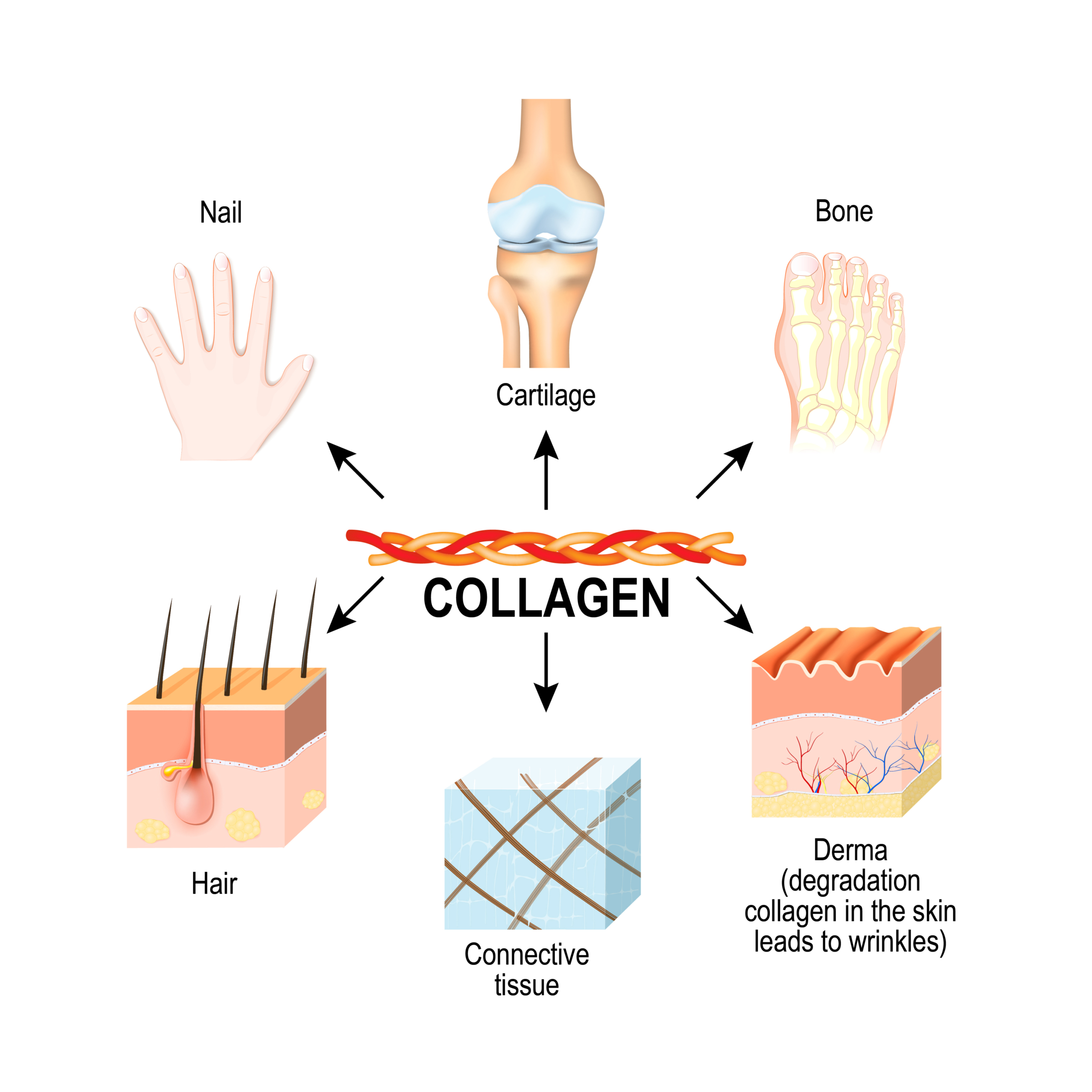 Collagen in the body